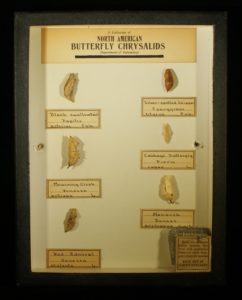 Collection of North American butterfly chrysalids