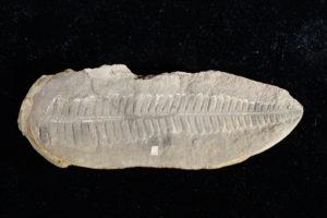 Fossilized fern leaf