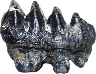 Fossilized mastodon tooth