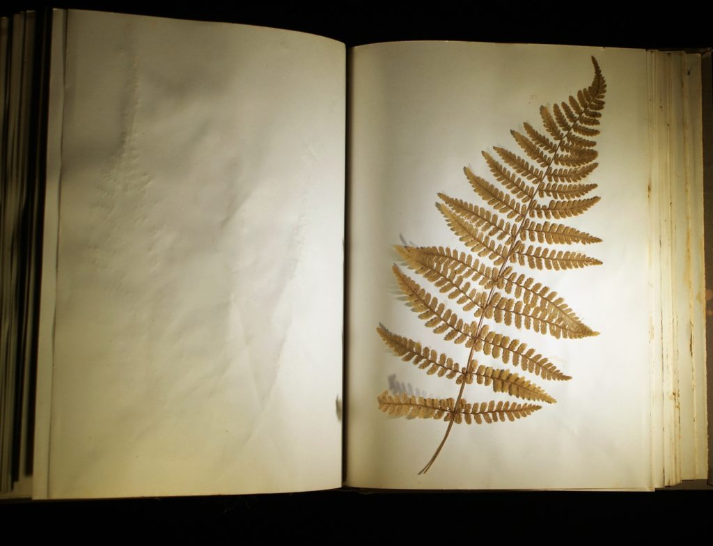 100-year-old preserved fern