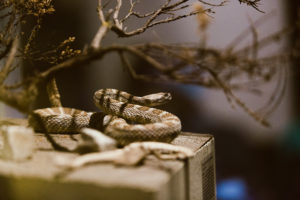 Taxidermied snake coiled to strike