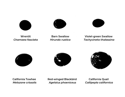 From the tiny wrentit to the California quail, the shape and markings of each egg can sometimes reveal who laid them. This chart describes which of the six eggs featured in this month's closeup belong to which birds. Nest shape and design, too, can help in identifying the parent species.