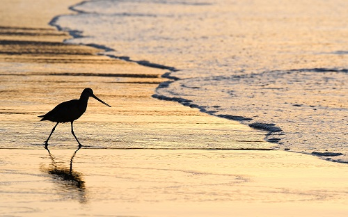 Seabird runs in the surf with the sun low on the horizon