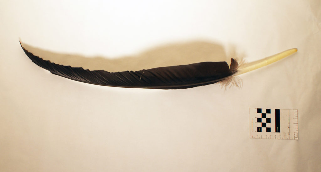 This dark feather runs roughly the length of a small human arm and once belonged to a California condor. Just as researchers assess tree rings to glean information about past climatic conditions, scientists sample lead content from leathers to learn when and how much condors were exposed to the poison.