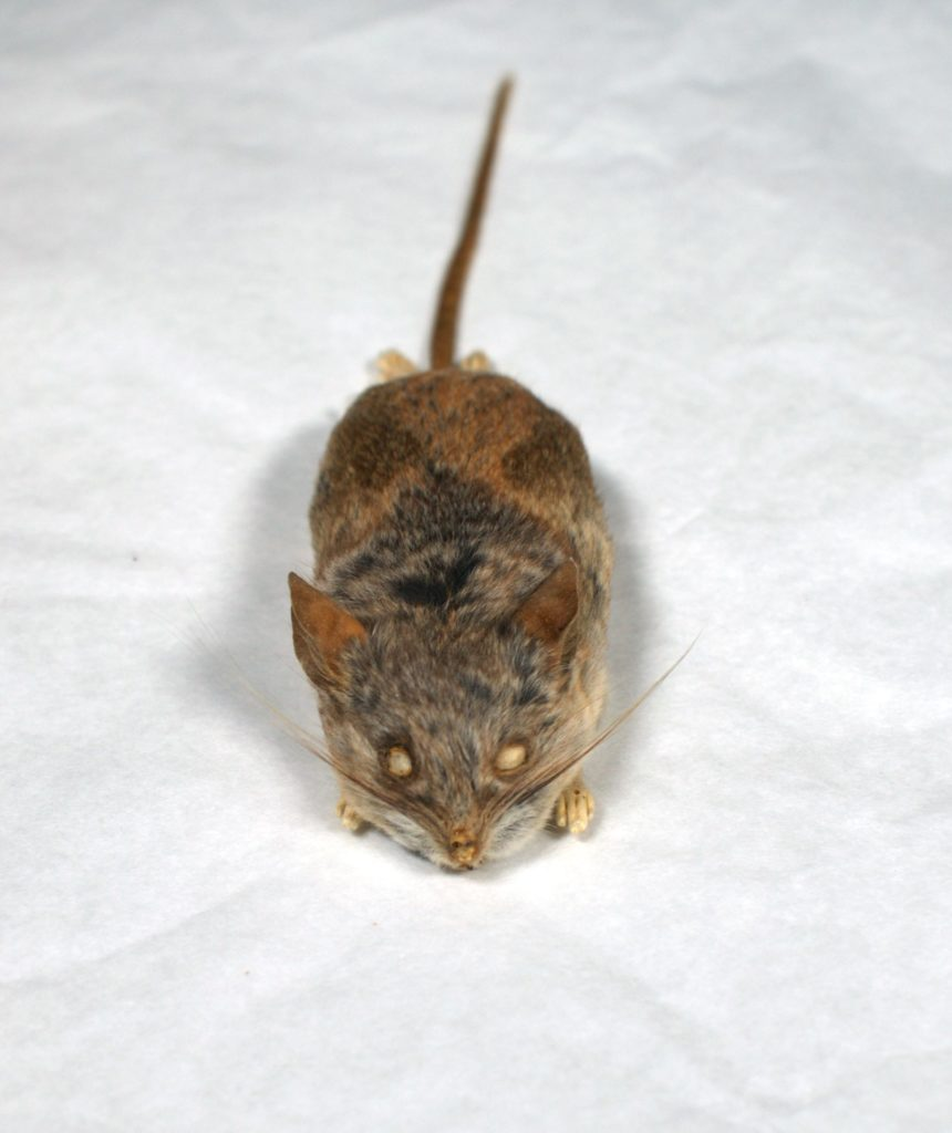 A stuffed study skin of a California mouse (Peromyscus californicus) rests on a table top, whiskers pointing stiffly outward.