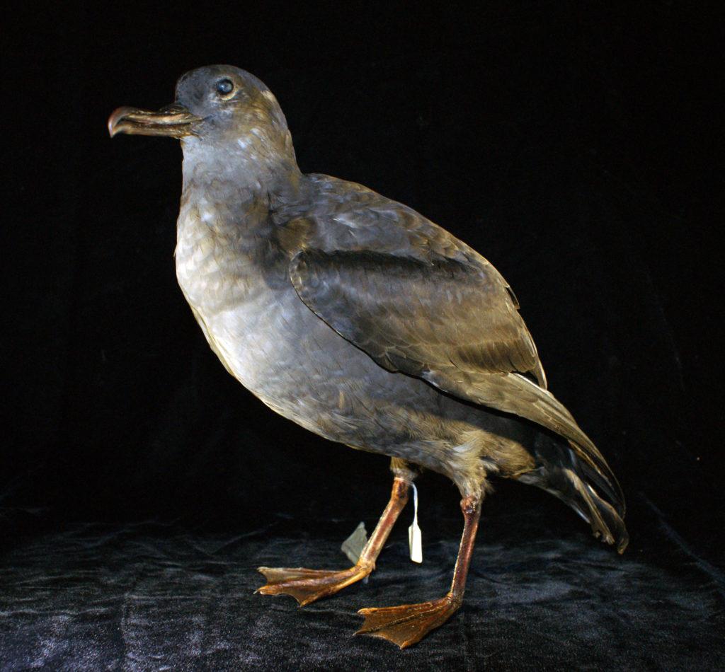 sooty shearwater specimen