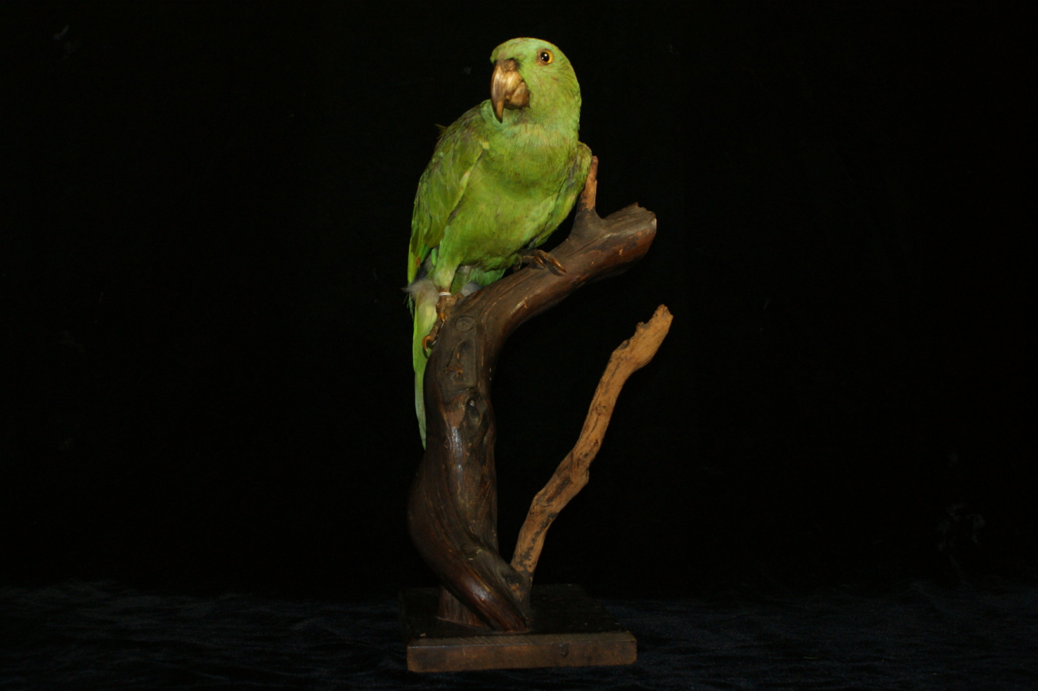 Green parrot specimen mounted on a branch.