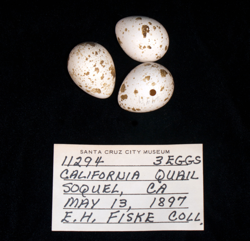 Three California quail eggs along with a identification card.