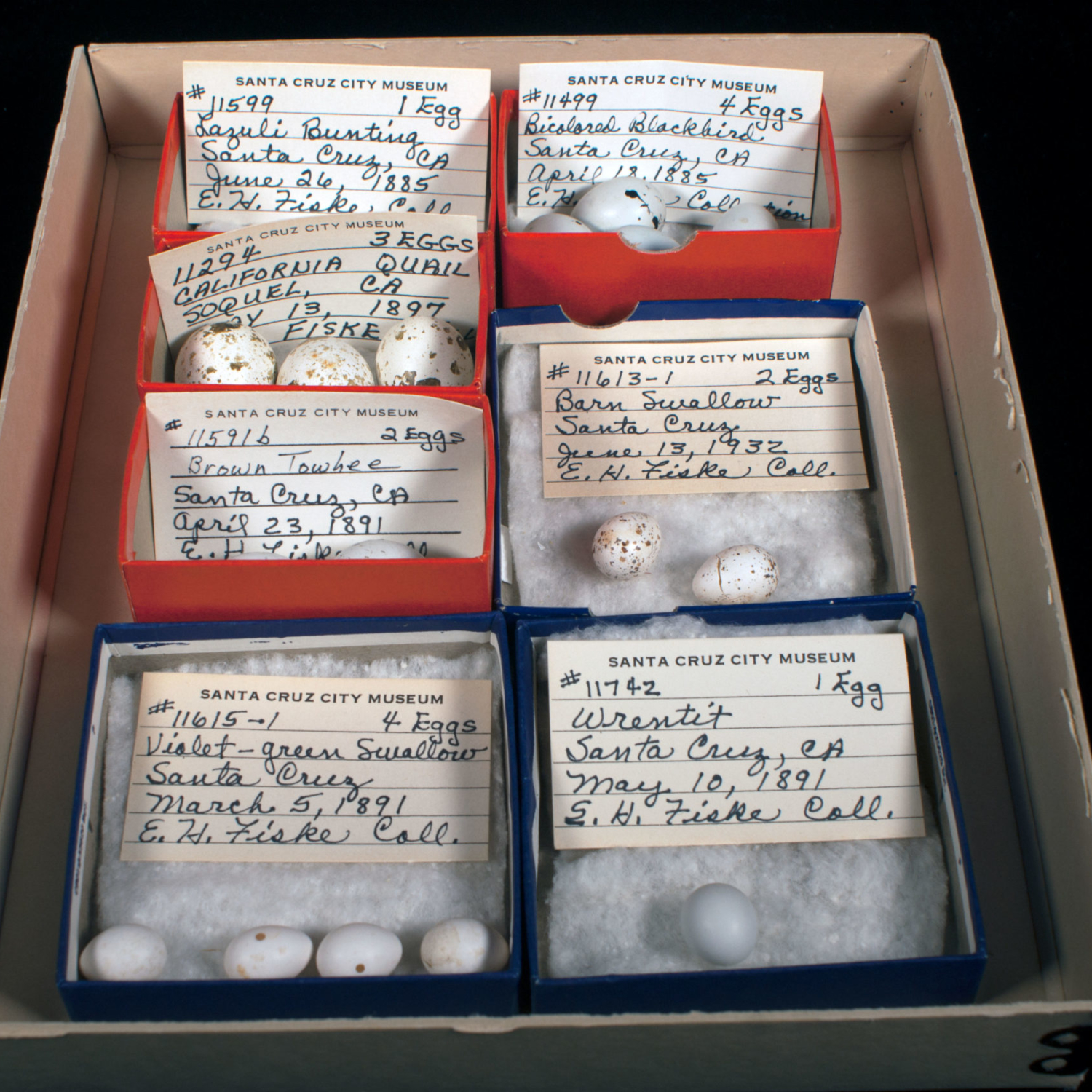A tray with several bird egg specimens and catalog cards.