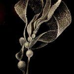 Black illustration of seaweed