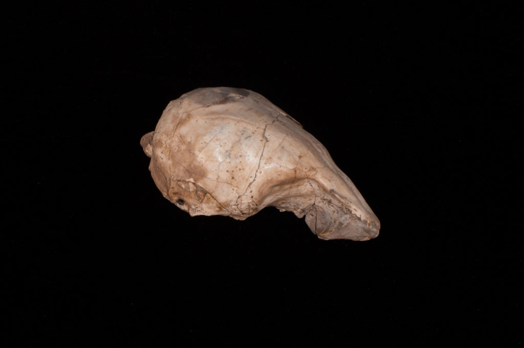 partial cranium and frontal skull region of the ancient pinniped Thalassaleon macnallyae