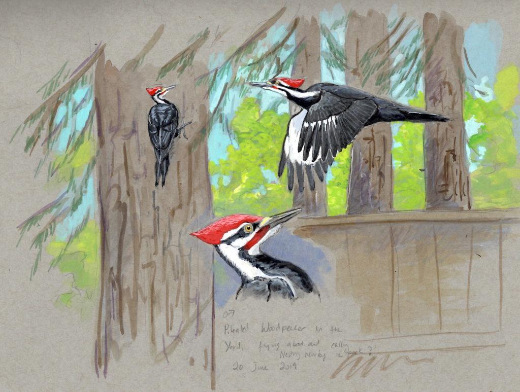 Artwork by Sophie Webb depicting woodpeckers