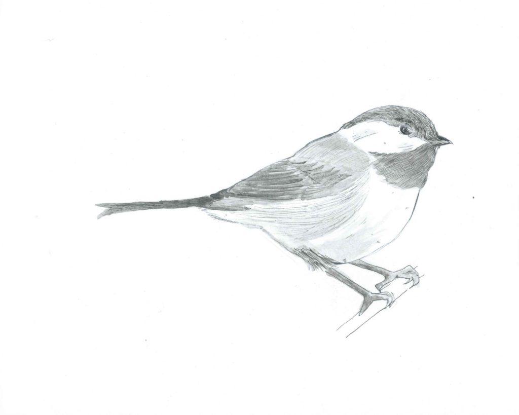 Sketch of a chickadee