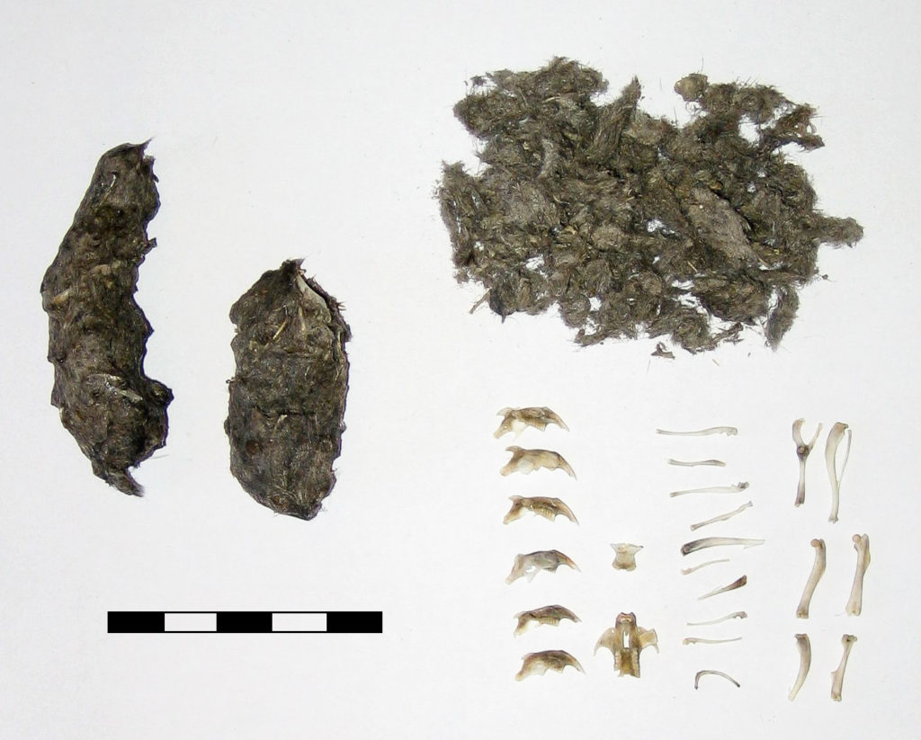 Dissection of an owl pellet