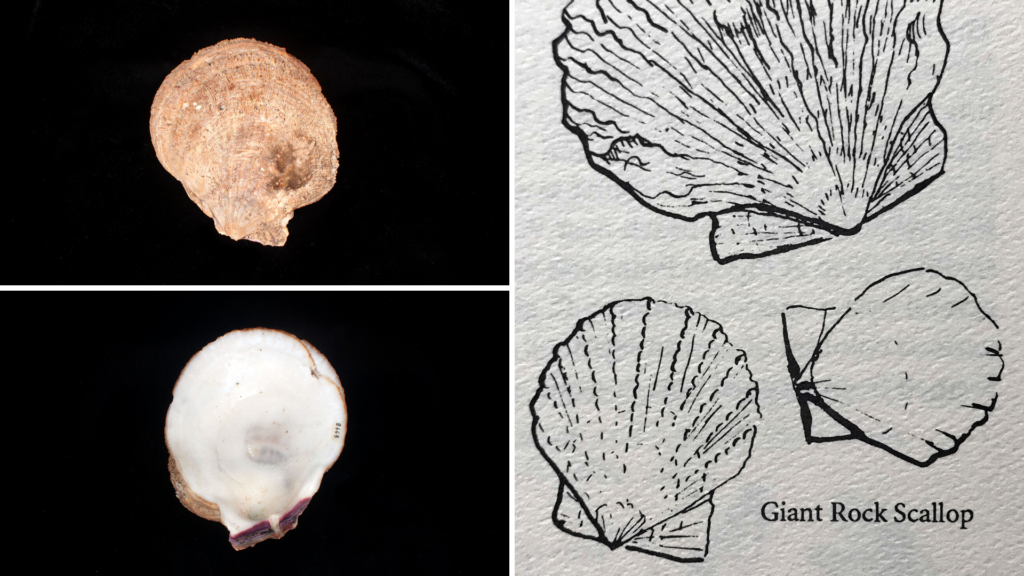 Giant rock scallop specimens and illustration