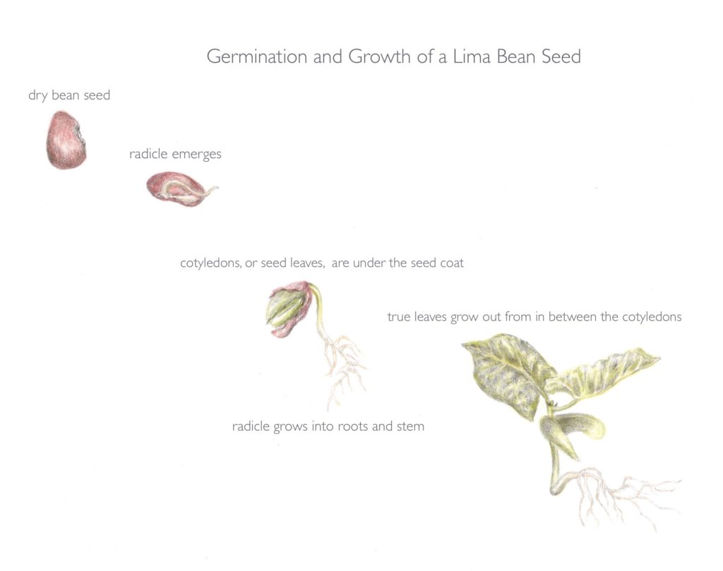 An illustration of the germination and growth of a lima bean seed