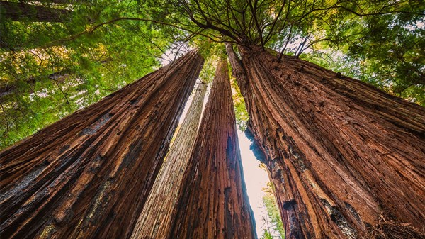 Looking up at towering redwoods.