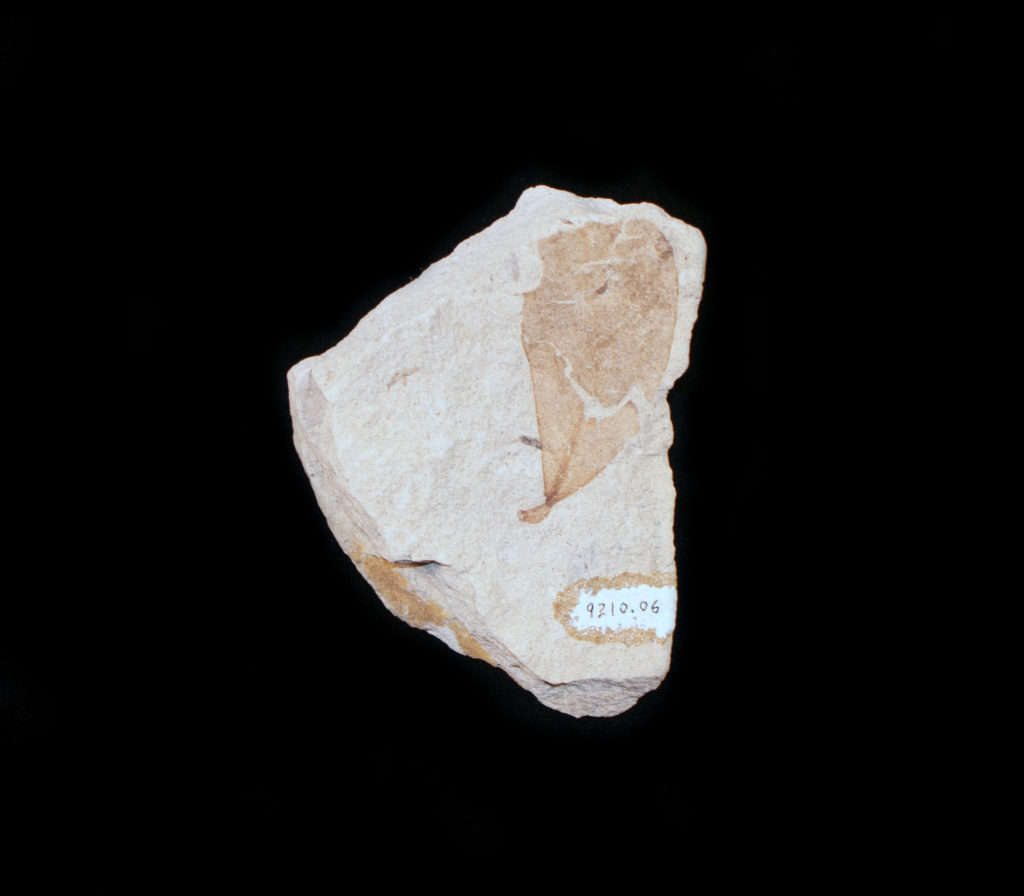 Photo of fossil leaf from the Miocene era.