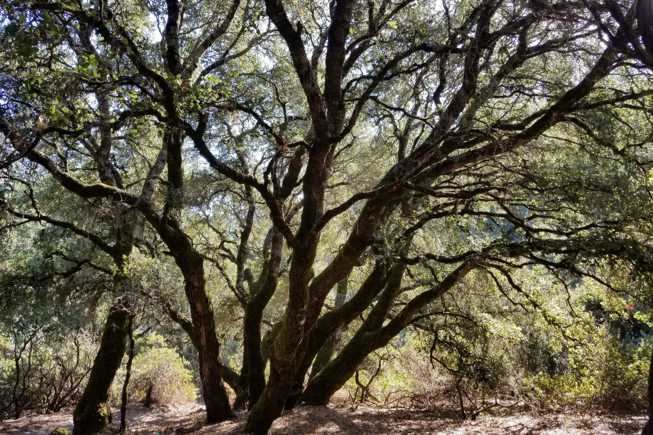 Coast live oak, Quercus agrifolia, an important source of acorns