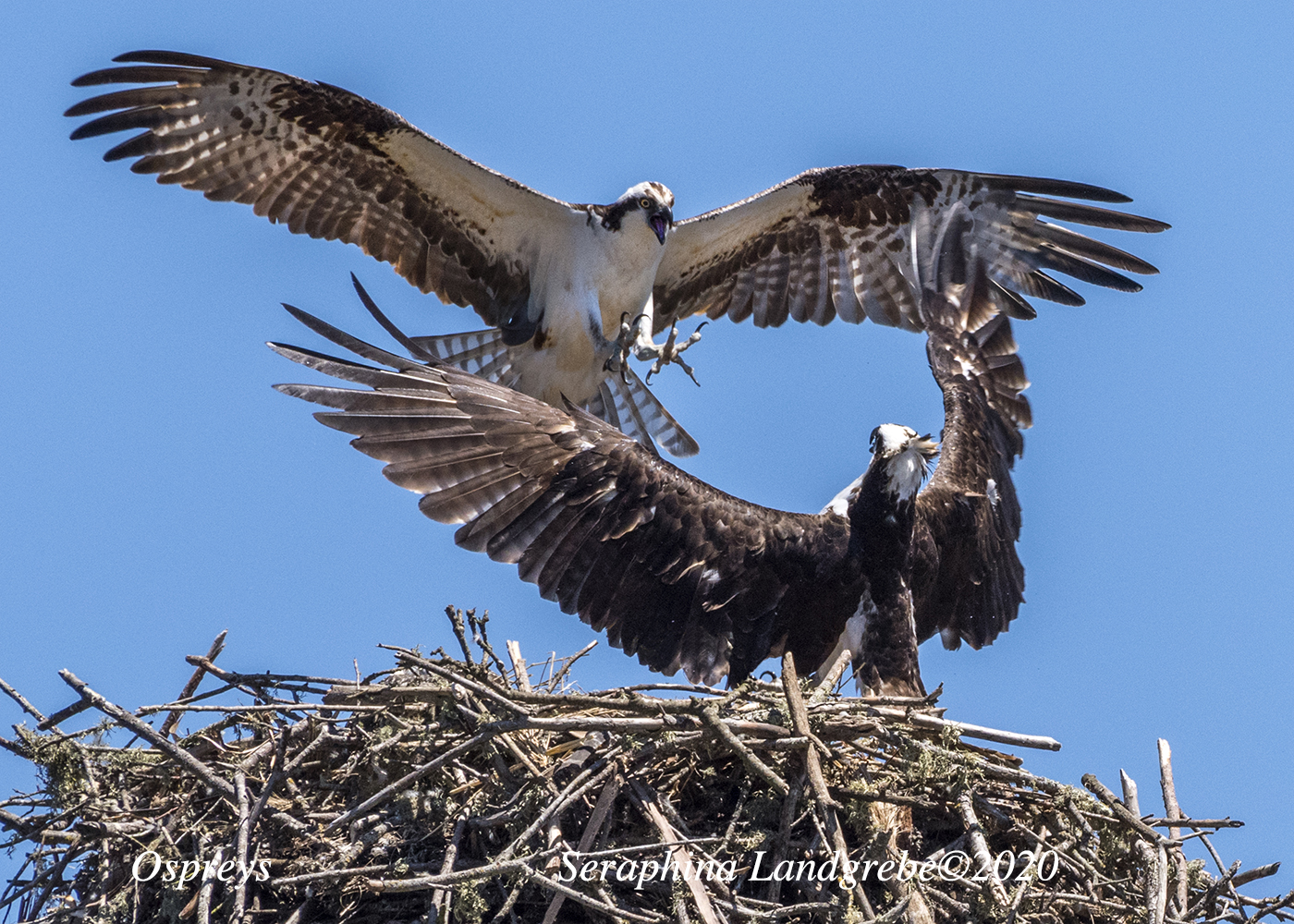 Two ospreys interacting above a nest.