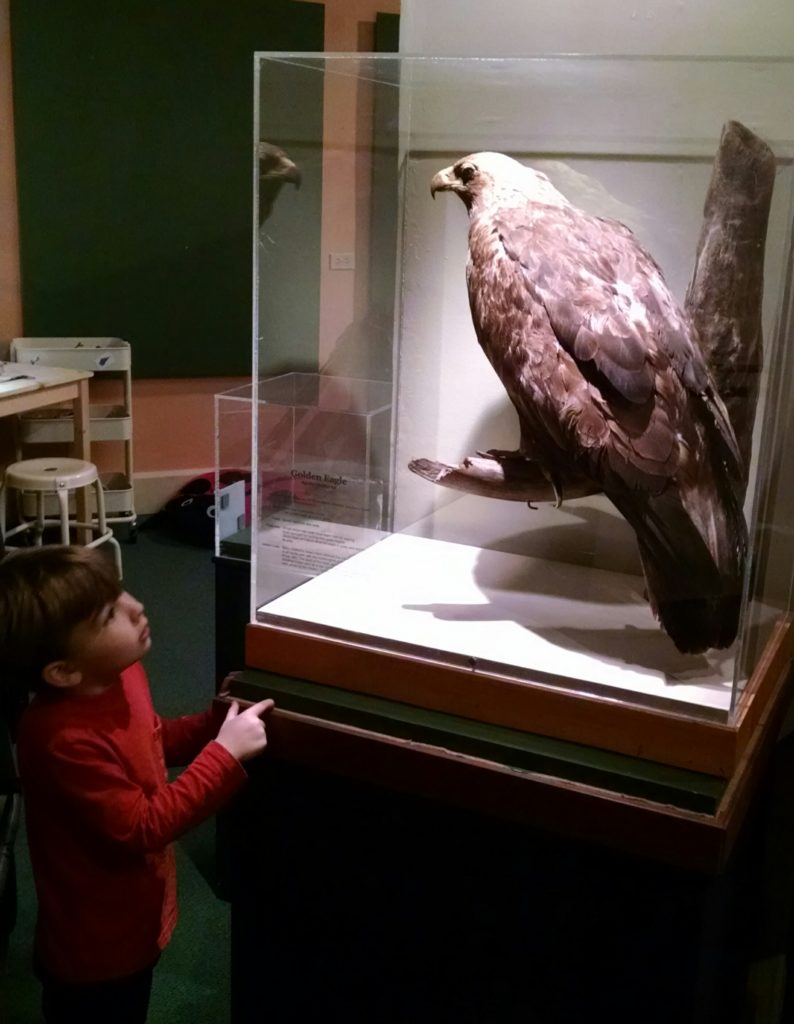 Boy pointing at golden eagle specimen