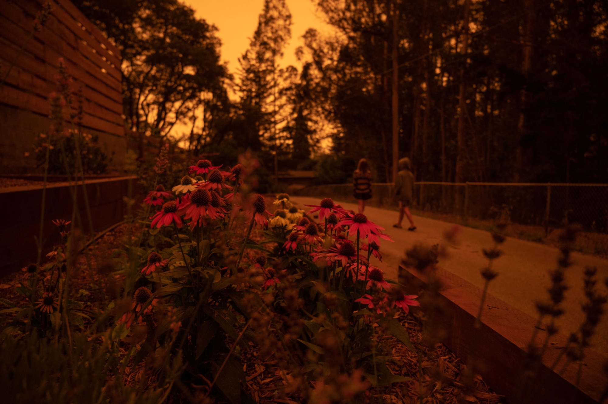 A dark orange glow covers a patch of asters with two children walk along a path in the background.