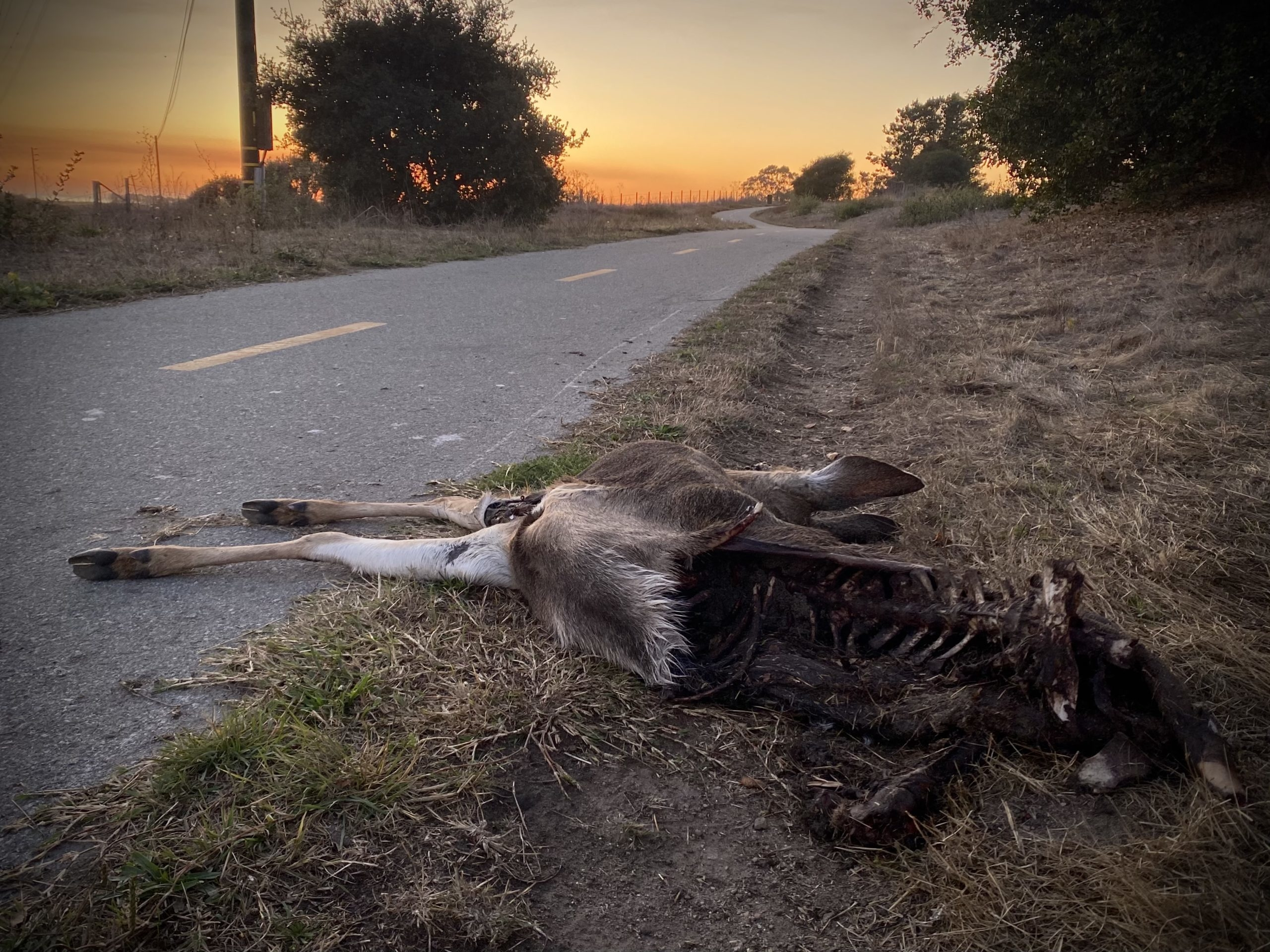 Half of a deer carcass is strewn across an asphalt path, while the other half is visibly picked apart with bones visible.