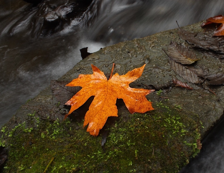 A bright orange maple leaf on a mossy rock with soft flowing water behind.