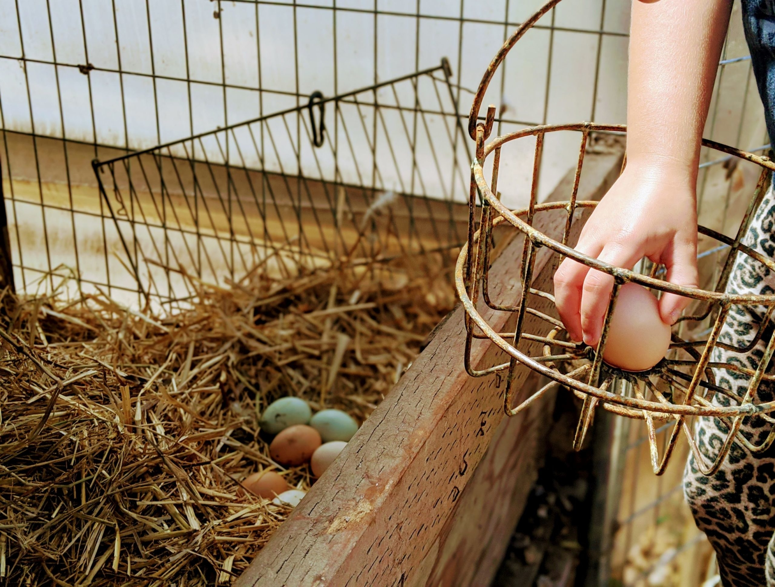 A child's hand places an orange egg into a rusted metal basket, picked from a hay-lined coup.