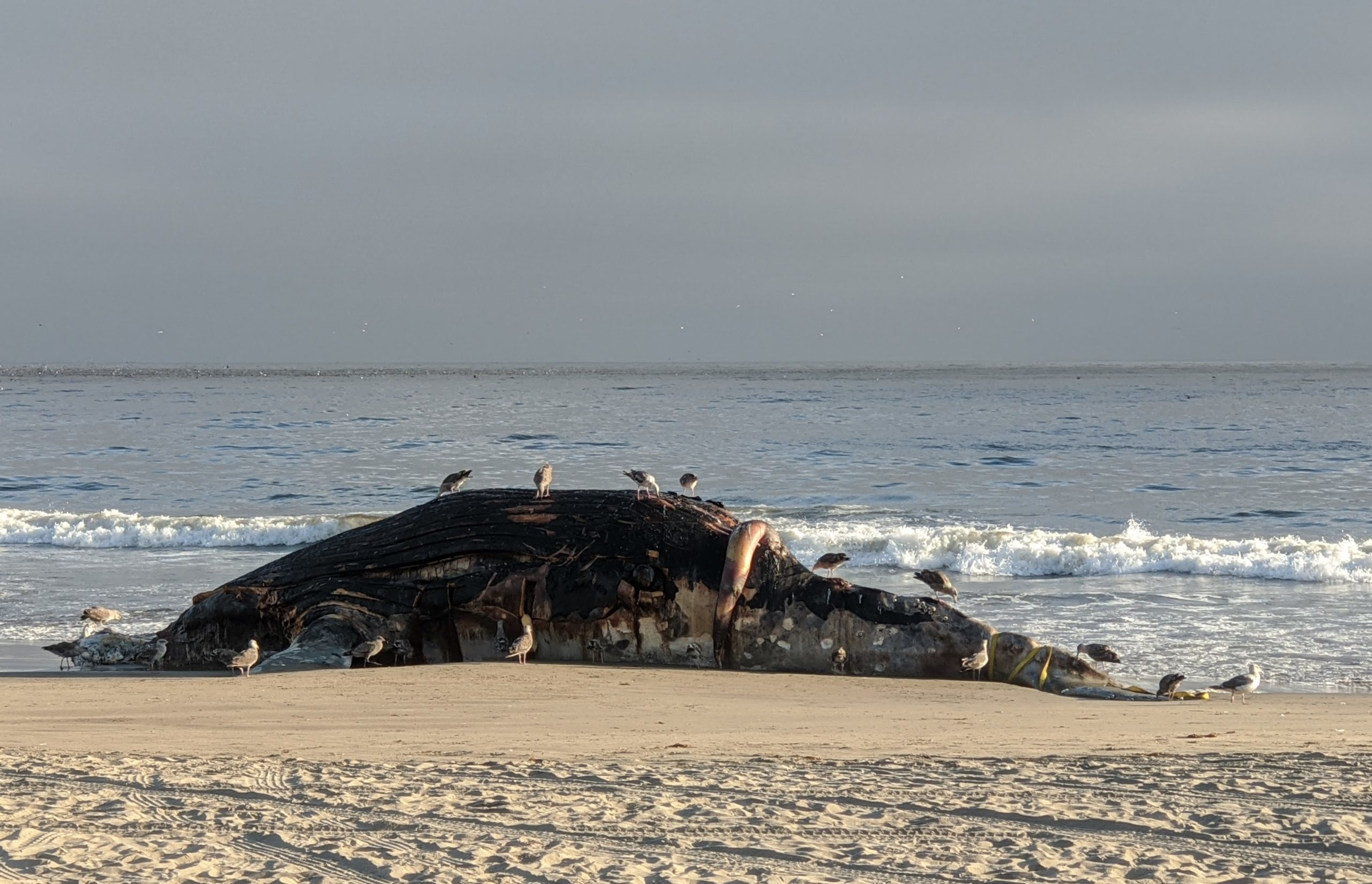 A whale carcass lies supine on the beach, covered in birds with a large organ splayed over its body.