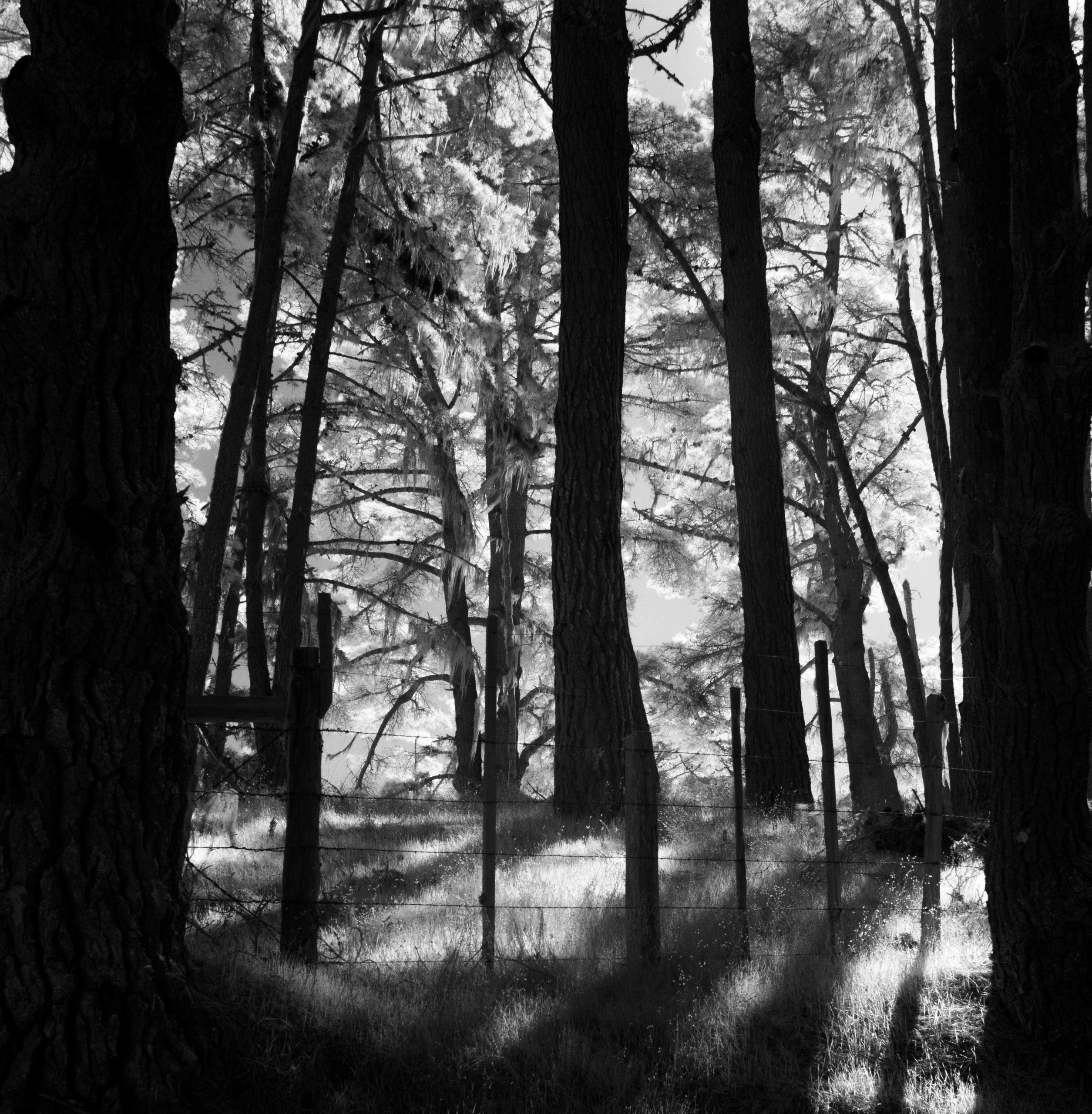 A black and white image of soft light shining through the forest.