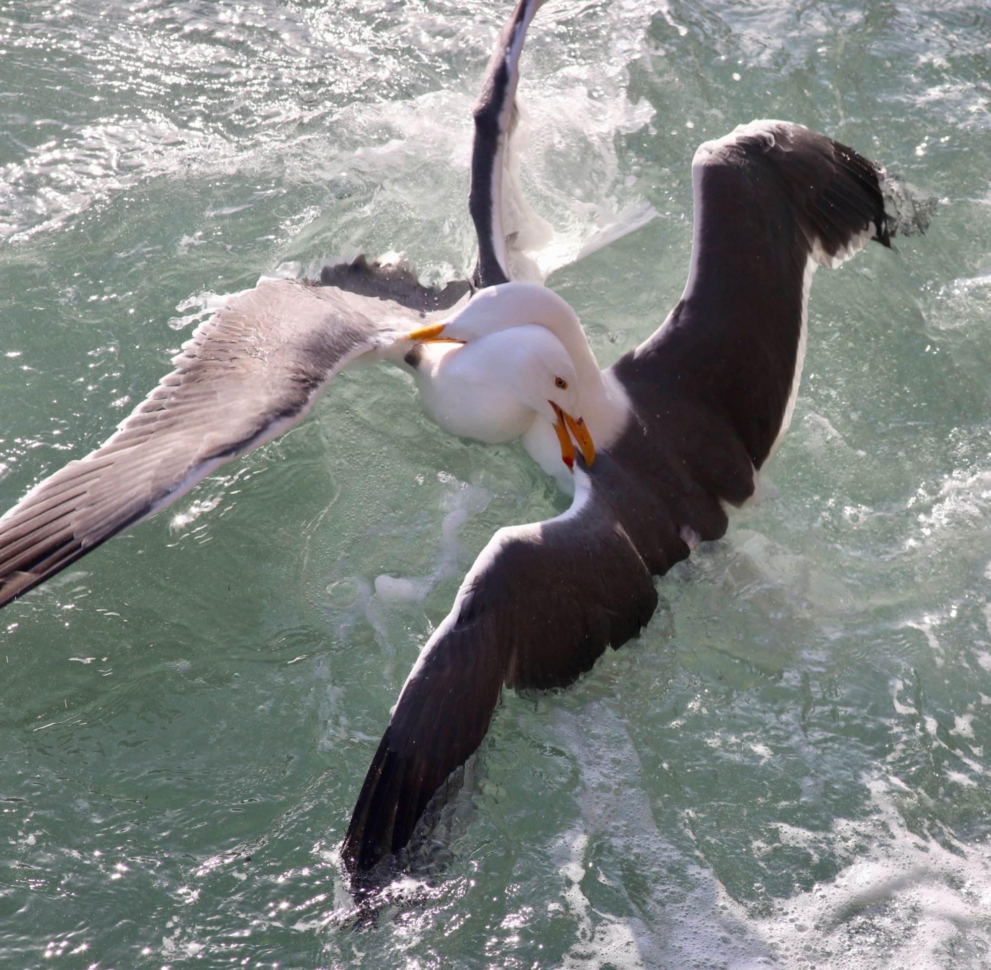 Two gulls face each other, necks locked and wings outstretched, in churning waters.
