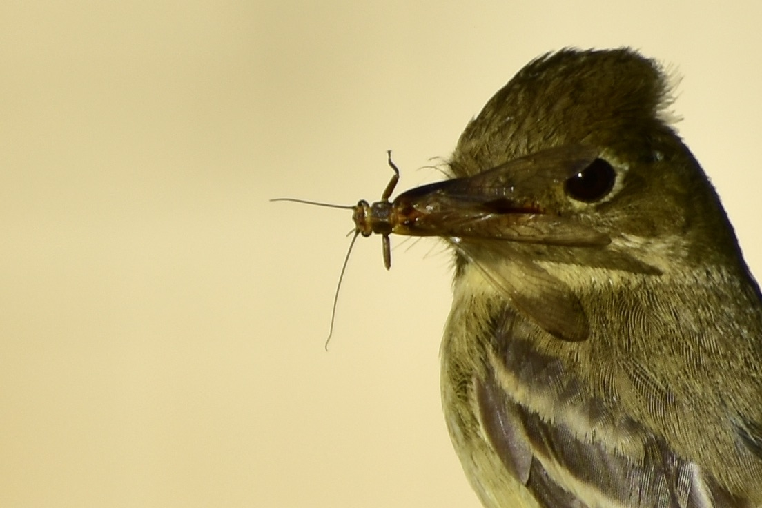 A flycatcher posed with an insect in its beak against a yellow background.