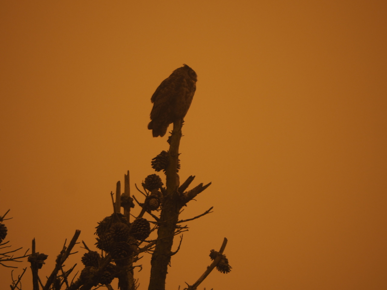 The silhouette of an owl atop a pine tree in a dusky orange glow.