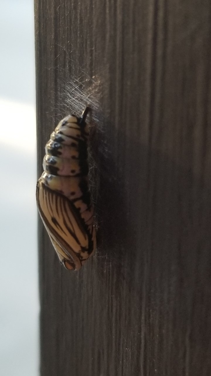 A chrysalis hangs from a wooden board.