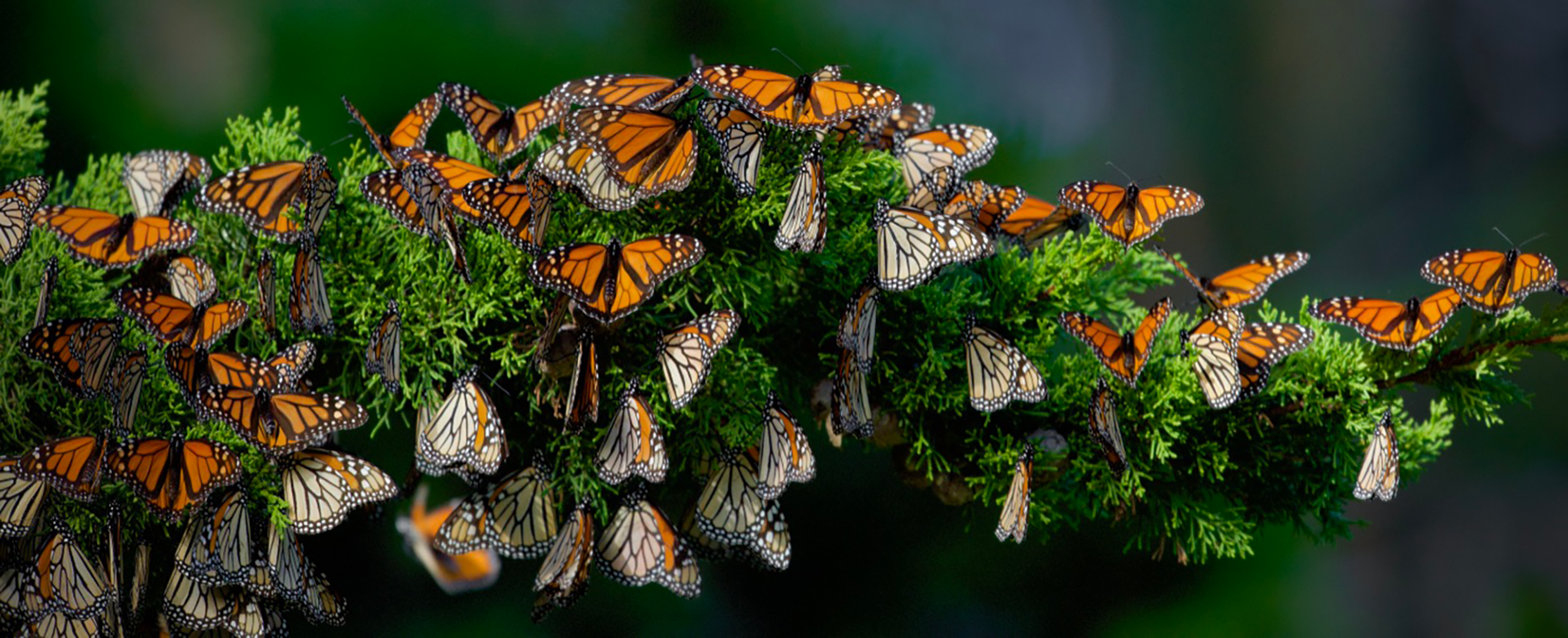 A horizontal cypress branch is covered with dozens of orange and black monarch butterflies.