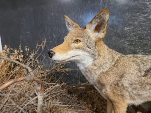 Side view of a taxidermied coyote