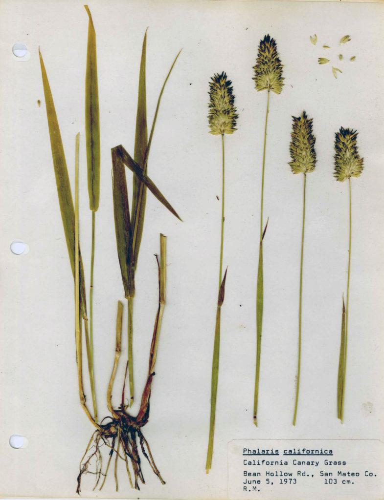 Herbarium specimen of California canary grass