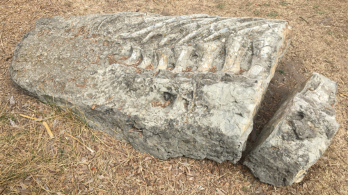 fossil of a whale ribcage